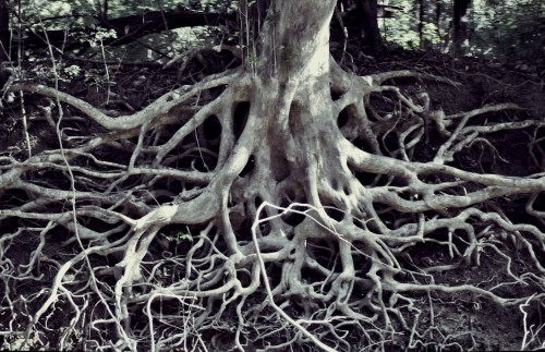 Picture of deeply entwined tree roots